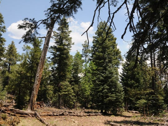 Stands of old-growth trees can be seen along Mormon