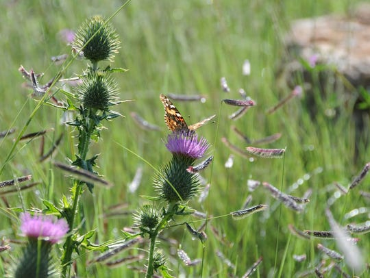 Thistles and other flowers attract butterflies to the