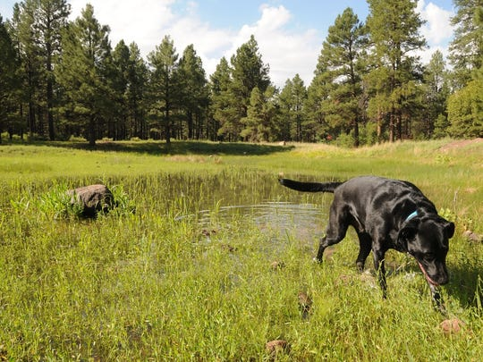 Walter noses around Stump Tank on the Devil Dog loop
