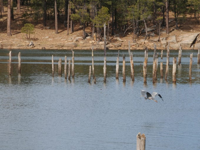 A great blue heron hunts for trout at Willow Springs
