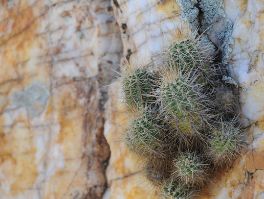 Tenacious cactus grows out of a crack in the quartz