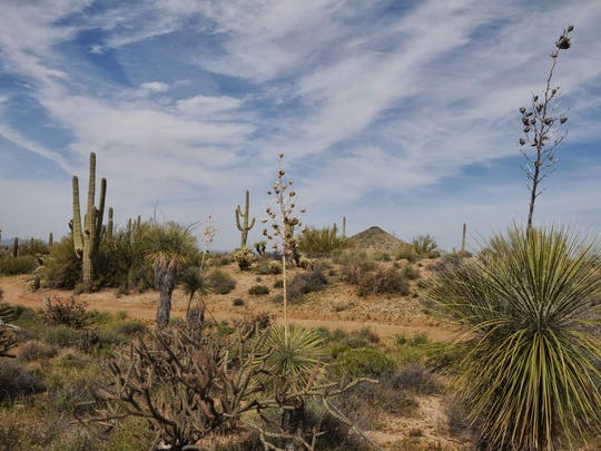 Blooming plants can be found on the Jane Rau Trail in the McDowell Sonoran Preserve.