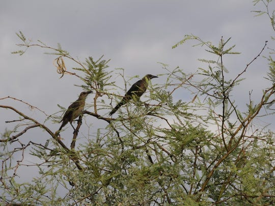 The Rio Salado Habitat Restoration Area offers some of the best birdwatching in the Valley.