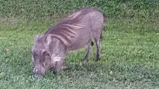 Wildlife officials captured an African warthog north of Fort Pierce last month.