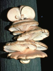 Oyster mushrooms (Pleurotus ostreatus) are common edible mushrooms that can be found growing in Florida.