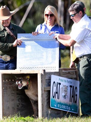 "State Attorney General Pam Bondi, flanked by the FWC's ""Alligator"" Ron Bergeron and Darrell Land, release a rehabbed panther Monday. John Anderson, on the right, provides music."