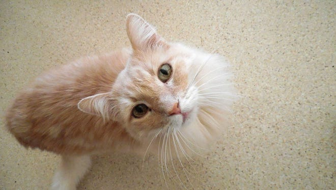 Leo is an 8-year-old, orange, male Maine Coon cat. He's a very social boy who is up to date with his vet care. Apply with Another Chance Animal Welfare League Adoption Center at www.acawl.org. Call 547-7387.