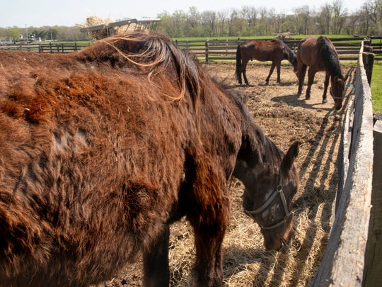 This horse, which was adopted out, was taken back by the Standardbred Retirement Foundation when it was discovered the animal wasn't being cared for properly.
