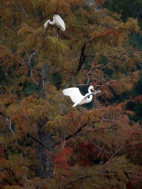 Egrets at Cross Lake eat fish.