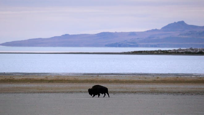 A bison crosses the beach on the shore of Antelope Island, the largest of several islands on Utah's Great Salt Lake on Thursday, Sept. 22, 2016. Investigators believe Larry M. Adams, 55, was jogging on the island just outside Salt Lake City when he had a suspected encounter with a bison.