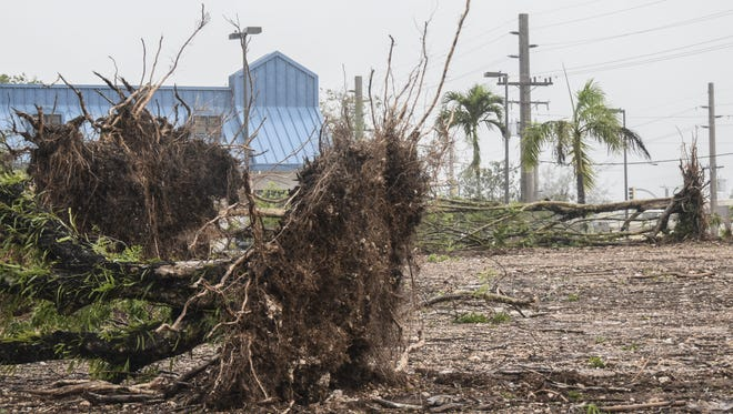 Uprooted trees lay across an open lot in Yigo on May 16, after approximately 100 mile per hour gusts from Typhoon Dolphin hit the northern part of the island.