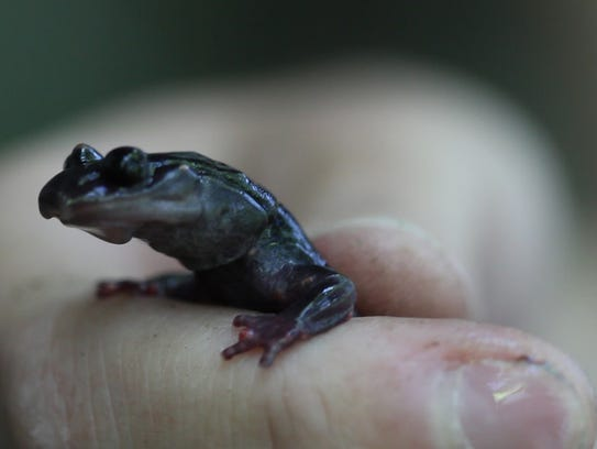 The South Mountain Gray-cheeked Salamander is a  Globally