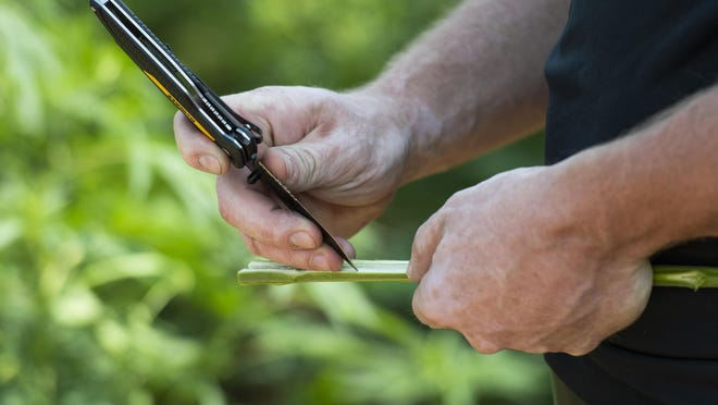 Kyle Bingham cuts open the stalk of a hemp plant to show the parts of the plant they use to harvest fiber at Bingham Family Vineyards on Friday, Aug. 21, 2020, in Terry County Texas.