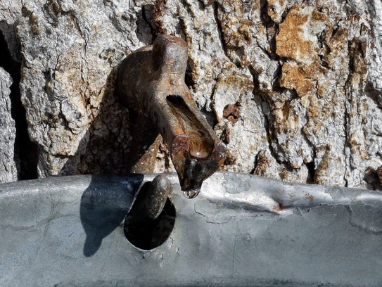 Maple tree sap drips from a tap into a bucket, Tuesday,