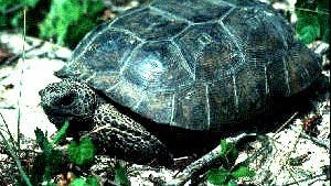 A gopher tortoise is a threatened species that lives in a small area of south Mississippi.