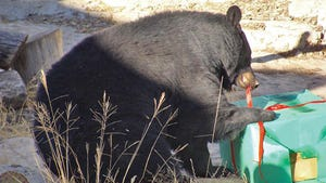 Maggie the black bear at the Living Desert Zoo and Gardens Park gets to open an edible present every year.