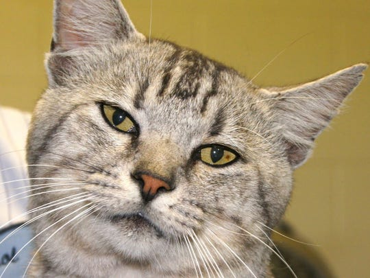 Tommy, a handsome male cat