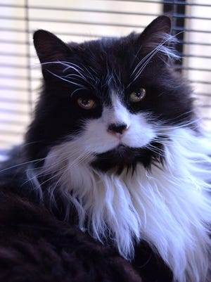 Rescue cat of the week: Nibbles