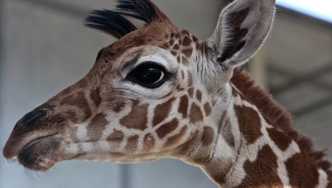 A new giraffe was born Thursday at the Living Desert. The newborn baby giraffe hasn't been named yet but it weighs 130 pounds and is 5 feet 9 inches tall.