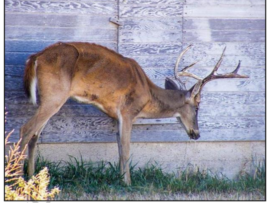 A deer with chronic wasting disease in Kansas.