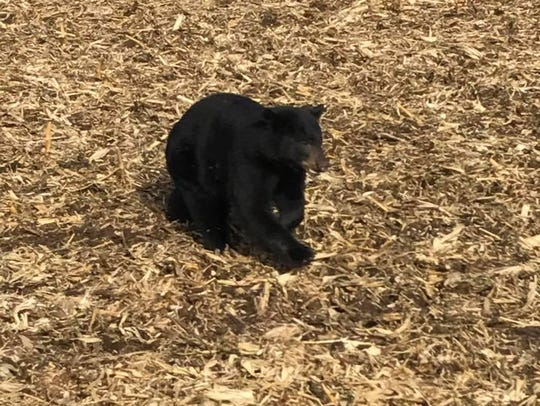A black bear was spotted Tuesday, Nov. 7, 2017 near