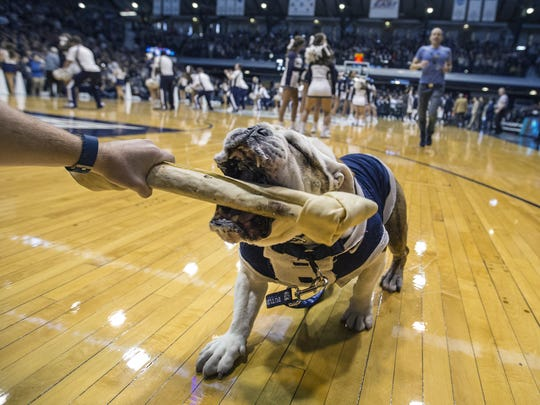 Trip, or Butler Blue III, chomps on his bone before the start of Butler?s game against Villanova at Hinkle Fieldhouse on Saturday. The Bulldogs won, 101-93.  Matt Kryger/IndyStar Trip of Butler Blue III lunges out to chomp on his bone before the start of their game against the Villanova Wildcats at Hinkle Fieldhouse Saturday, Dec. 30, 2017. The Butler Bulldogs defeated the Villanova Wildcats 101-93.