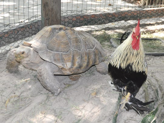 Big Foot the Rooster and Zeus the Tortoise are an unlikely