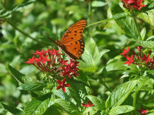 Pam Jones-Morton's butterfly garden just keeps getting bigger and more popular with butterflies and caterpillars.