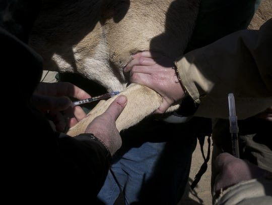 A Sonoran pronghorn is vaccinated during a roundup