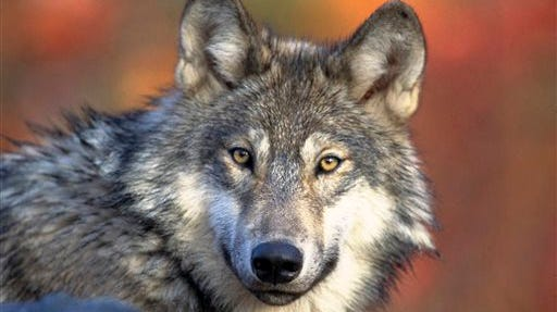 This April 18, 2008, file photo. provided by the U.S. Fish and Wildlife Service shows a gray wolf.