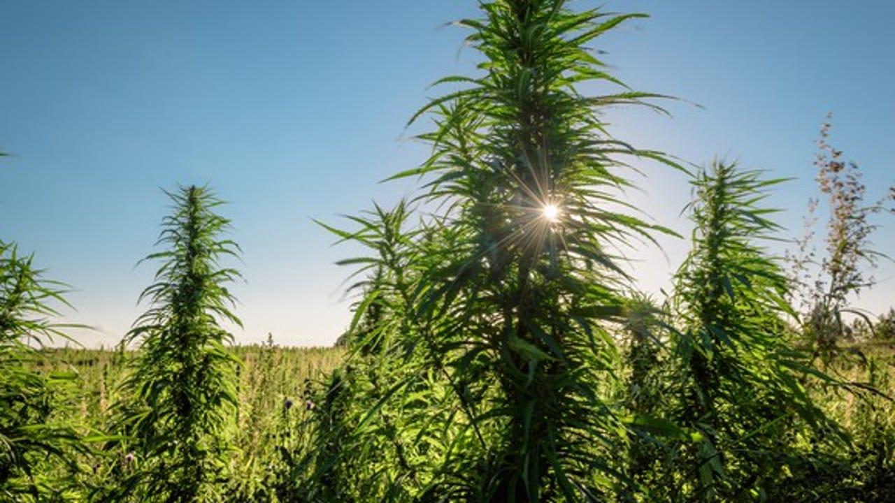 Marijuana surplus pushes Oregon farmers to hemp