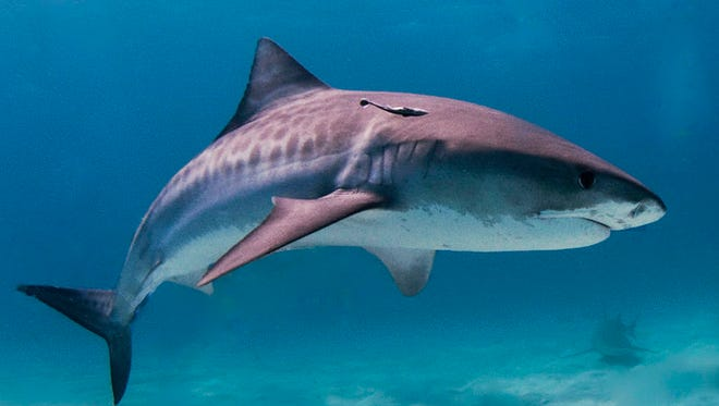 Tiger sharks can grow to 18 feet and weigh up to 2,000 pounds. They are responsible for most attacks on humans off Hawaii.