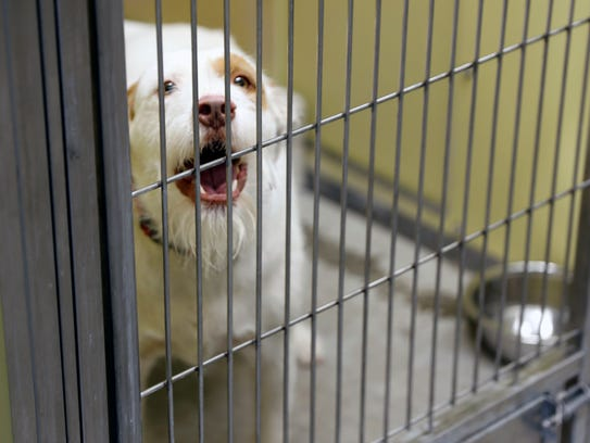 An adoptable dog named Norbie barks, Monday, July 24,