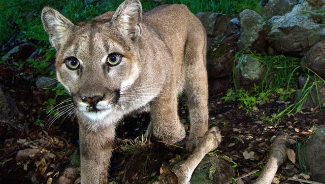 This Feb. 9, 2015, file photo, released by the National Park Service, taken from a remote camera in the Santa Monica Mountains National Recreation Area near the Los Angeles and Ventura county line, shows a female mountain lion identified as P-33. She is one of several mountain lions observed in and near urbanized areas in greater Los Angeles. A study released Wednesday, Sept. 2, 2015 says it's feasible to build a wildlife corridor so mountain lions can cross a Southern California freeway safely and find new homes. The mountains are ringed by dense urban areas, making roaming difficult for animals. At least a dozen have been killed by traffic in the area since 2002.