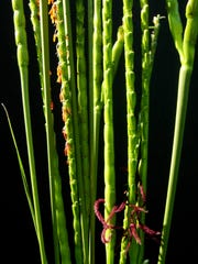 The stems of turkey grass get this time of year are tall and arching.