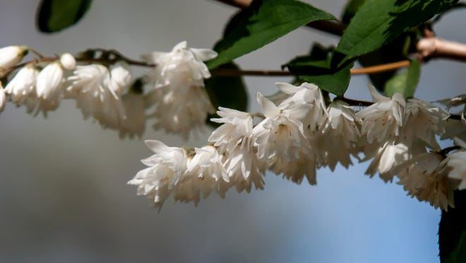 Fuzzy deutzia flowers are star shaped, lightly fragrant and bring an assortment of pollinators.