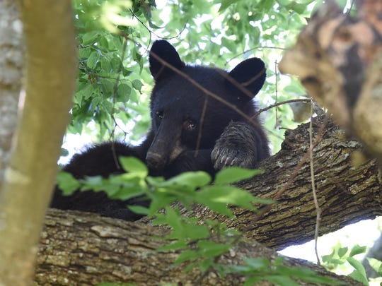 In this file photo, A juvenile Black Bear looks at a crowd of humans below his perch in a tree on Monday. The bear was spotted by residents off Panoramic Lane in rural Mountain Home.