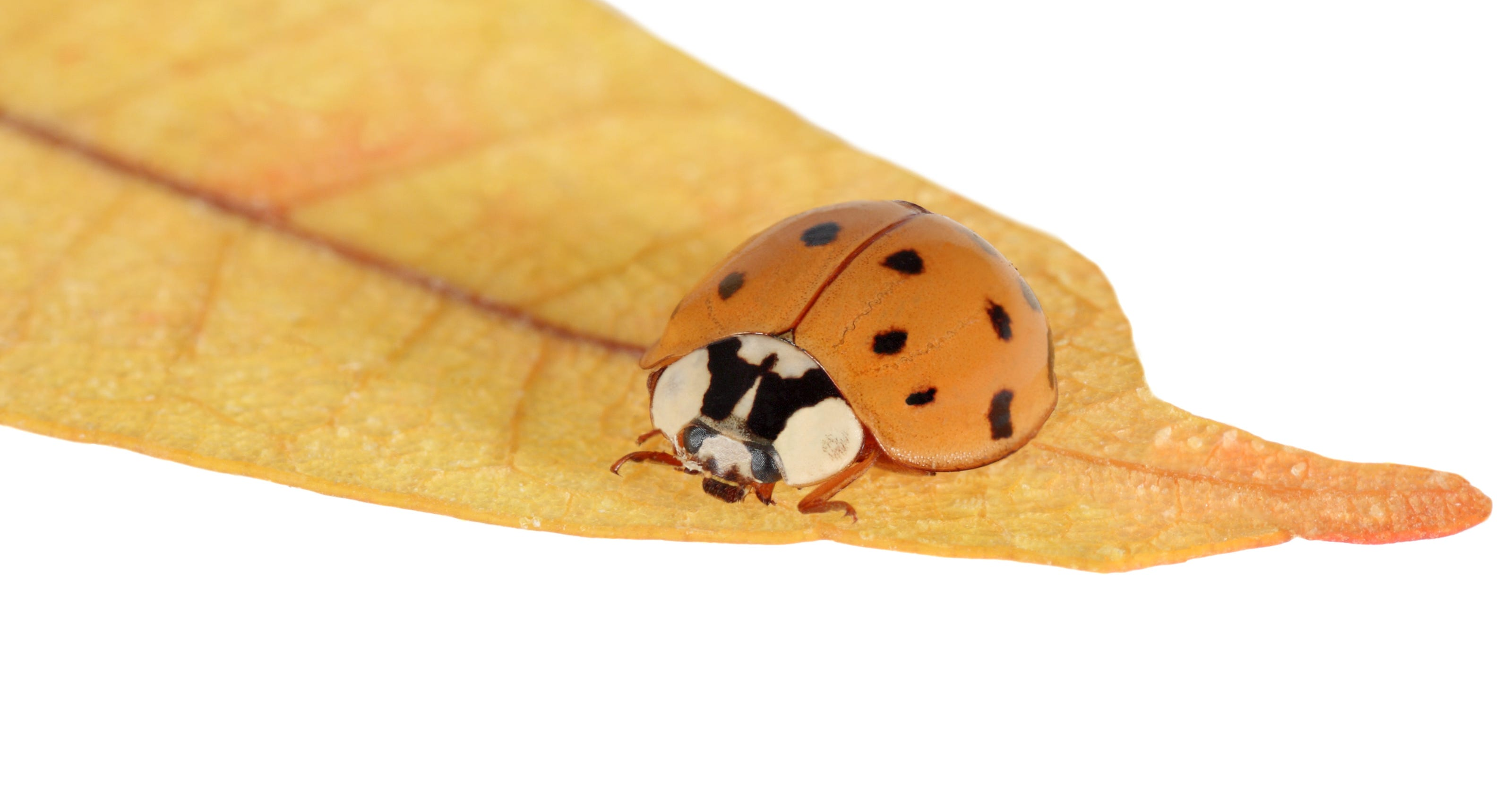 Lady bugs or Asian beetles?
