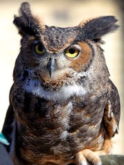 Koko, the great horned owl was on display during a press event for the 12th Annual Hudson River EagleFest at Teatown Lake Reservation in Ossining on Jan. 21, 2016. The 12th Annual Hudson River EagleFest returns to Westchester's Croton Point Park on Feb. 6th to share interesting facts about eagles in Westchester as well as showcase resident birds of prey, including their own great horned owls.  Discounted pre-sale tickets for this unique celebration of the resurgence of the U.S.Õs national bird are on sale now for $13/adults (12+), $8/children (6-11) and free for children ages five and under.  Visit: www.teatown.org.