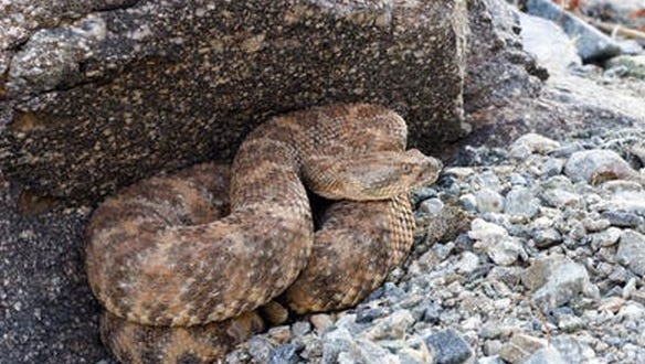 A 42-year-old woman was taken to the hospital in moderate condition after being bitten by a rattlesnake.