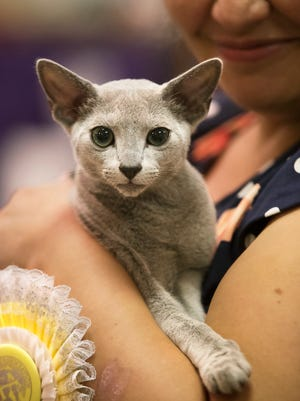 Yulia Spivak proudly shows off her Russian Blue kitten, Emerald Snow Songsmith, on Saturday (7/21/18) at the Cat  Fanciers Association Allbreed Cat Show at Araba Shriners Hall in Fort Myers. Emerald placed second in the best kitten shorthair specialty category.