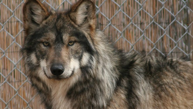 A Mexican gray wolf at the Southwest Wildlife Conservation Center.
