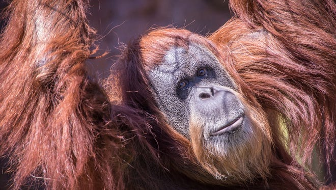 Inji the orangutan in Red Ape Reserve at the Oregon Zoo.