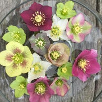 When you see hellebore blooms in your garden, you know spring is here