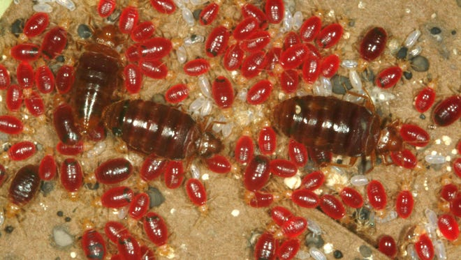 Recently fed adult bed bugs and just-hatched baby bed bugs. The white morsels are eggs.