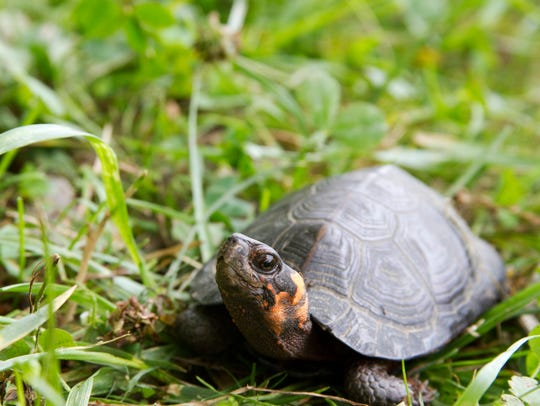 The bog turtle was listed as a federally threatened