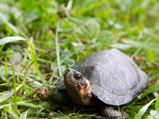 The bog turtle was listed as a federally threatened species in 1997. It is the smallest turtle in North America, rarely exceeding 3 or 4 inches in length and weighing only about 4 ounces.