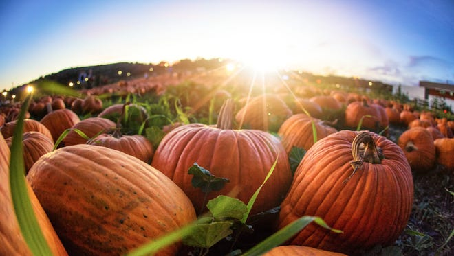Sunset over a grassy field with hundreds of pumpkins laid out as far as the eye can see.