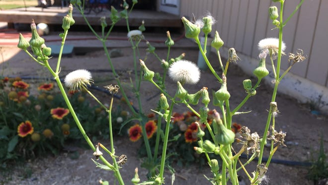 To control next year's annual sowthistle infestation, remove the flowers and seed heads now.