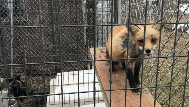 A fox was among 11 animals rescued from squalor in Sanford.